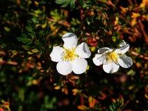 Potentilla fruticosa 'Abbotswood' Stock Images