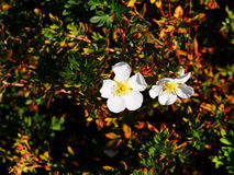 Potentilla fruticosa 'Abbotswood' Royalty Free Stock Photo