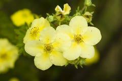 Potentilla gele bloemen stock afbeeldingen