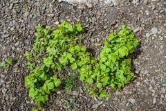 Potentilla micrantha leaves royalty free stock image