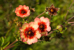 Potentilla nepalensis flowers and bud. Close-up of Potentilla nepalensis flowers and bud Royalty Free Stock Photos