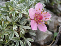 Potentilla nitida (Cinquefoil of Dolomites). Potentilla nitida, also known as Cinquefoil of Dolomites, is a specie of genus potentilla endemic of the limestone Stock Photography