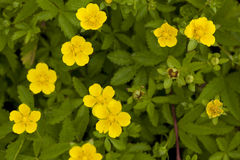 Potentilla reptans. Clump little flower (Potentilla reptans) on meadow Stock Image