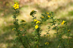 Potentilla Shrub with yellow flowers Stock Photos