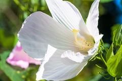 Potentilla tabernaemontani kwiatu zakończenie Zdjęcie Stock
