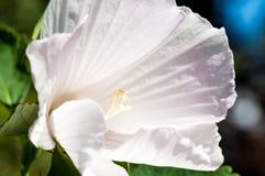 Potentilla tabernaemontani kwiatu zakończenie Zdjęcia Stock