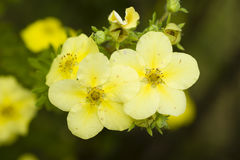 Potentilla yellow flowers Stock Images