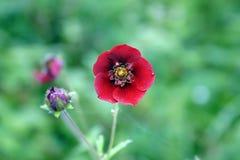 Potentillabloem in de Vallei van Bloemen wordt gevonden, Uttarkhand, India dat Stock Foto