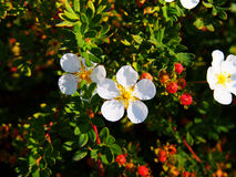 Potentillafruticosa & x27; Abbotswood& x27; Royaltyfria Bilder