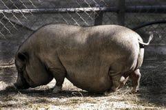 Potenziometer aufgeblähtes Schwein Stockfotos