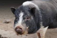 Potenziometer aufgeblähtes Schwein Lizenzfreies Stockbild