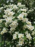 Potere di Jasmine Flower fotografie stock libere da diritti