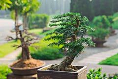 Potes de los bonsais colocados para adornar, lujo Foto de archivo