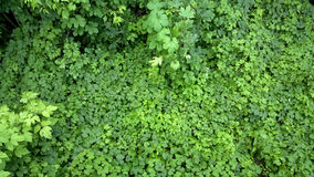 Potherb background. Outdoors photography of green bushes Stock Photography