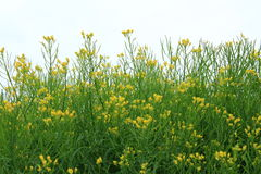 Potherb Mustard. Mizuna Brassica rapa var. nipposinica flowering plant against Royalty Free Stock Images