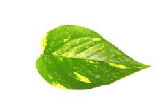 Pothos叶子孤立白色背景 免版税库存图片