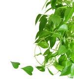Pothos室内植物 库存图片