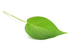 Pothos Stock Photography