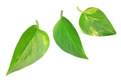 Pothos. I the leaf of the pothos I took it in a white background Royalty Free Stock Image