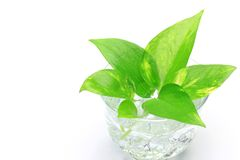 Pothos Royalty Free Stock Photo