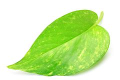 Pothos. I took the leaf of the pothos in a white background Stock Photos