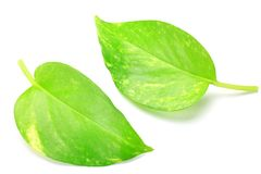 Pothos Royalty Free Stock Image