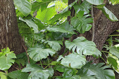 Pothos Aureaus or Monstera Growing on Live Oak. The house plant Pothos Aureaus growing wild on a Live Oak tree as mature Monstera in Florida Stock Images