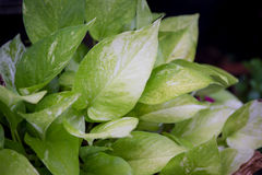 Pothos Stock Images