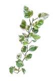 Pothos d'or de vigne en forme de coeur de feuilles d'isolement sur le fond blanc, chemin Photos libres de droits