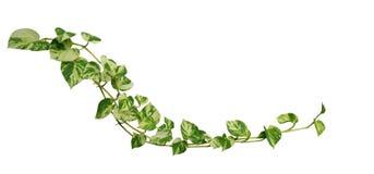Pothos d'or de vigne en forme de coeur de feuilles d'isolement sur le fond blanc, chemin Photo stock