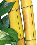 Pothos de bambu Fotografia de Stock Royalty Free