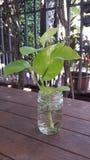 Pothos de néon, houseplants populares Fotografia de Stock Royalty Free
