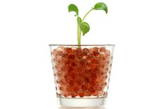 Pothos (Devil's Ivy) in Hydrogel Balls Stock Images