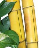 Pothos di bambù Fotografia Stock Libera da Diritti