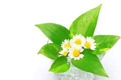 Pothos and flower Royalty Free Stock Photography