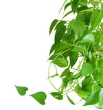 Pothos houseplant. Evergreen houseplant pothos isolated on white background Stock Images