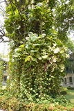 Pothos ivy. Climbing in big tree Royalty Free Stock Images