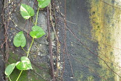 Pothos ivy Royalty Free Stock Photography