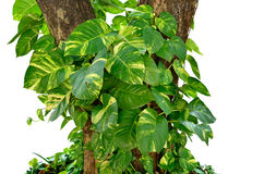 Pothos. Is ivy, plant epipremnum scindapsus close up on white background Stock Photo
