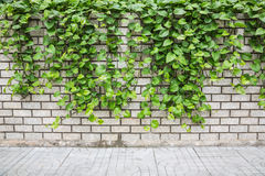 Pothos ivy on the wall. Pothos ivy on a white brick wall blocks Royalty Free Stock Image