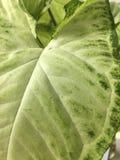 Pothos leaf green stripes pretty. Stock Image
