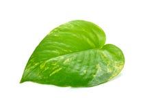 Pothos leaf Stock Images