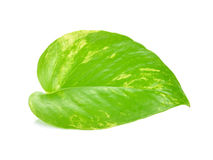 Pothos leaf. Isolated on white background Royalty Free Stock Image