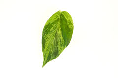 Pothos Leaf on White. Close up of Pothos Leaf on White Stock Images