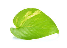 Pothos leaf. On white background Stock Photo
