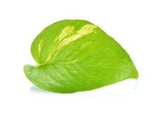 Pothos leaf Stock Photo