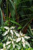 Pothos leaves bush Royalty Free Stock Image