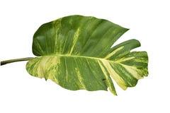 Pothos liście odizolowywający na białym tle Zdjęcia Royalty Free