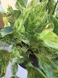 Pothos plant Stock Photography