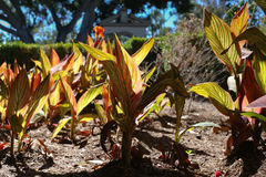 Pothos plants planted in ground Royalty Free Stock Images